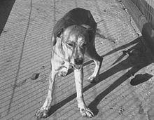 220px-rabid_dog