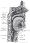 220px-sagittalmouth