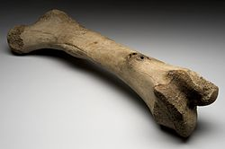 250px-left_femur_of_extinct_elephant2c_alaska2c_ice_age_wellcome_l0057714