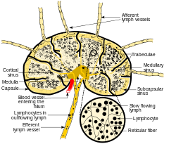 250px-schematic_of_lymph_node_showing_lymph_sinuses-svg