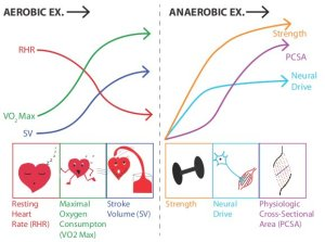 aerobic_anaerobic_exercise_adaptations